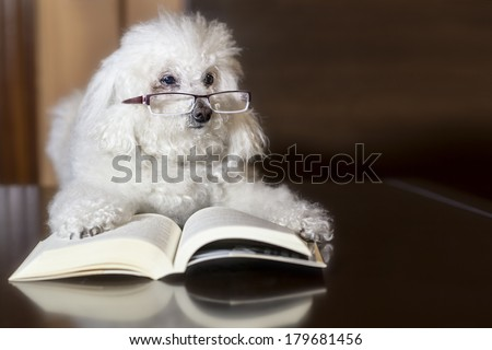 A poodle reading a book - stock photo
