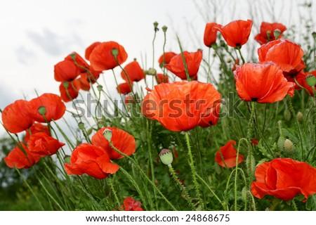 A poppy field - stock photo