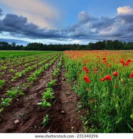 A poppy field and a beta field in Latvia - stock photo