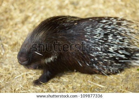 A porcupine is in a natural habitat - stock photo