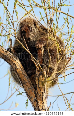 A porcupine sitting in a tree, calmly nibbling on the fresh spring growth. Southern alberta, Canada. - stock photo