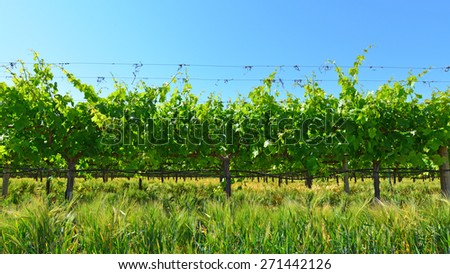 A portion of a large Central California vineyard in spring, not yet ready for the grape harvest. - stock photo