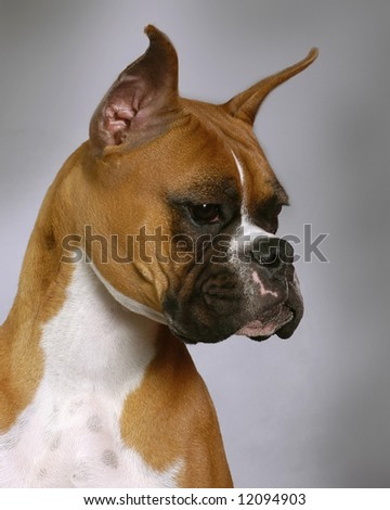A portrait of a American Boxer dog - stock photo