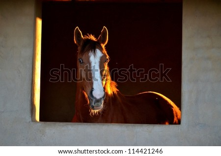 A portrait of a bay or brown horse with a white blaze looking or staring out his stable window, with the setting sun behind him. - stock photo