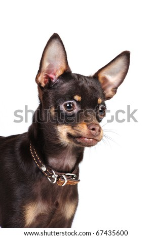 a portrait of a beautiful brown russian toy terrier on a white background in studio