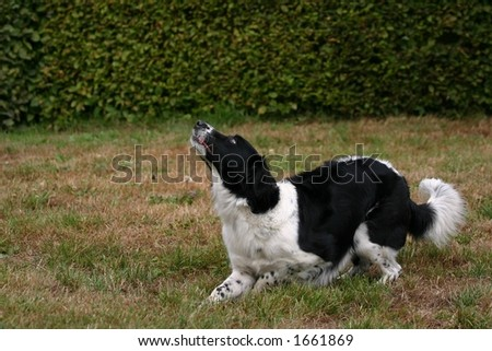 A portrait of a black and white dog in a garden