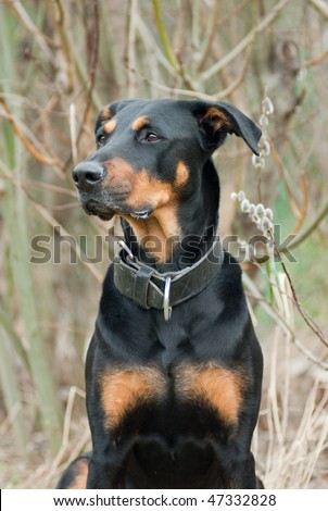 a portrait of a black doberman in front of a blooming pussy willow - stock photo