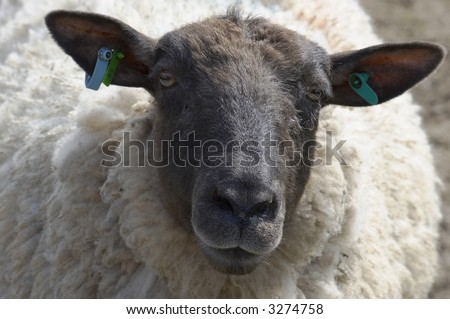 A portrait of a  black faced sheep - stock photo
