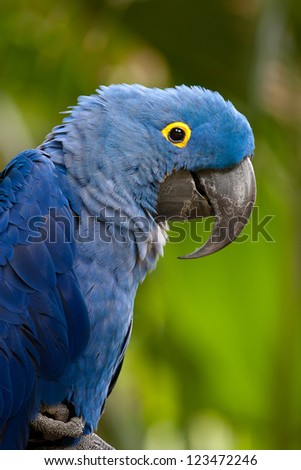 A portrait of a blue parrot with a yellow ring around its eye. - stock photo