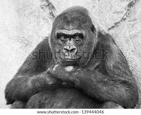 A portrait of a bored contemplating lowland gorilla in black and white - stock photo