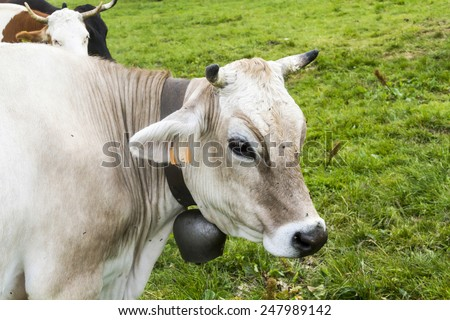 A portrait of a cow in the pasture - stock photo