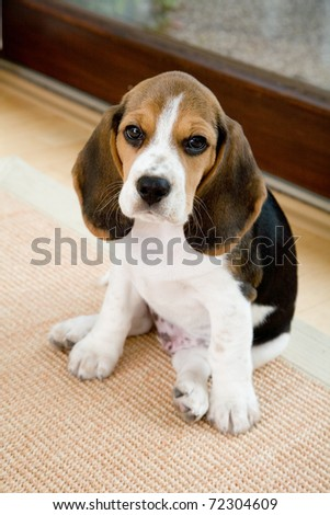 A portrait of a cute beagle, relaxing in Living Room - stock photo