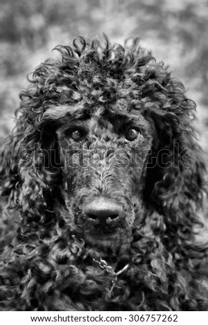 A portrait of a cute black poodle puppy with expressive eyes. - stock photo
