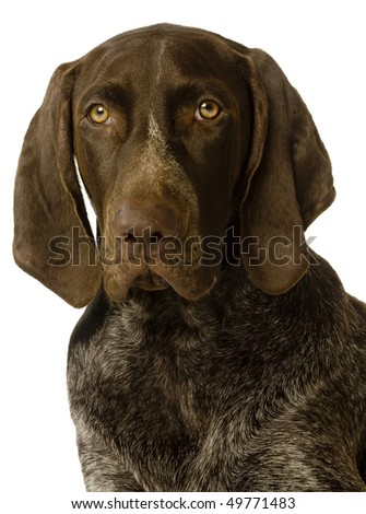 A portrait of a German Short-haired Pointer, isolated on white.