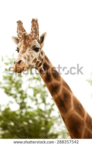 A portrait of a giraffe with trees in the background.