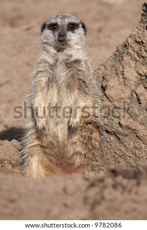 A portrait of a Meerkat in the sand in front of a rock