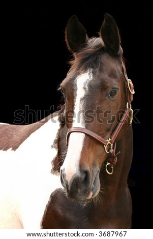A portrait of a piebald mare against a black background. - stock photo