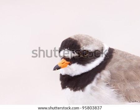 A portrait of a ringed plover - stock photo