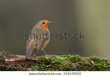 A portrait of a Robin (Erithacus rubecula) standing on a mossy log.