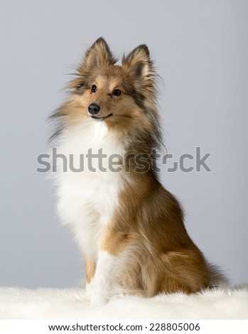 A portrait of a shetland sheepdog. Image taken in a studio - stock photo