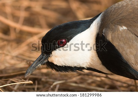 A portrait of a Spur-Winged Plover (Vanellus Spinosus) - stock photo