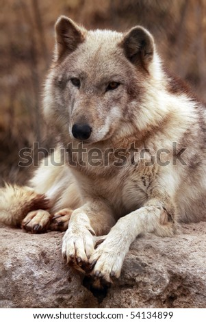 A portrait of a timber wolf (canis lupus). - stock photo