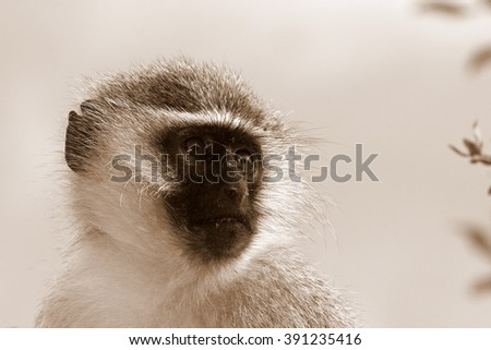 A portrait of a vervet monkey from a safari in eastern cape,south africa
