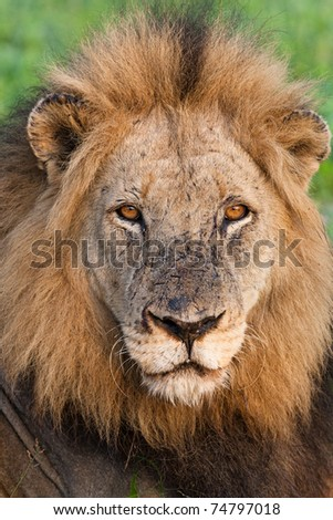 A portrait of a very old male lion - stock photo