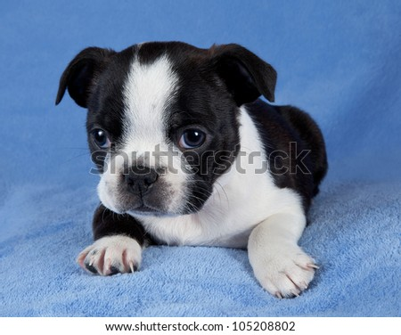 A portrait of a 7 week old female Boston terrier puppy. - stock photo