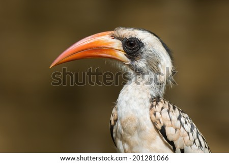 A portrait of a  Western Red-Billed Hornbill (Tockus erythrorhynchus) - stock photo