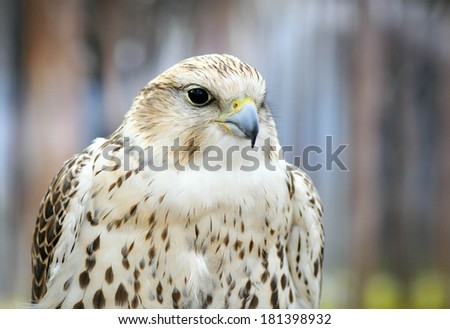 A portrait of a white falcon bird of prey - stock photo