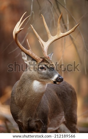 A portrait of a wild white-tailed deer buck in the forest. - stock photo