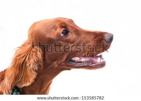 A portrait of an irish setter on white