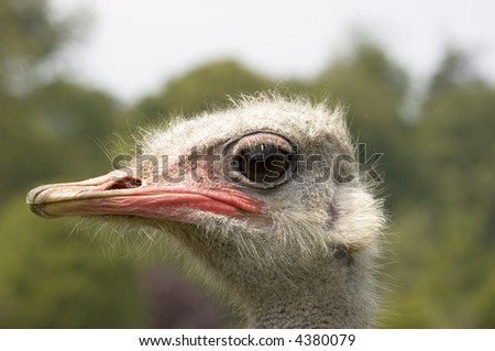 A portrait of an Ostrich with background out of focus