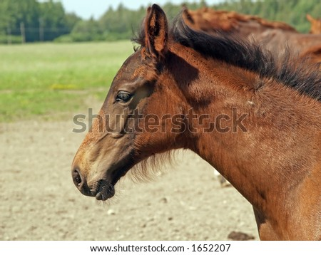 A portrait of baby horse in a pasture