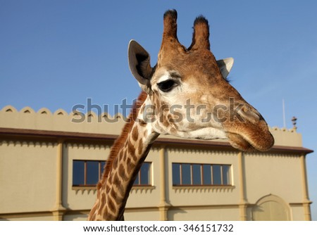 A portrait of funny giraffe snout in zoo. Selective focus - stock photo