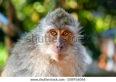 A portrait of macaque monkey. The picture was taken in The Ubud Monkey Forest, Bali, Indonesia. - stock photo