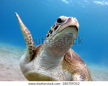 A portrait of the sea turtle - Green turtle (Chelonia mydas) swimming close to the sandy bottom - stock photo