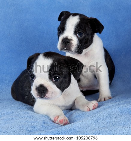 A portrait of two 7 week old female Boston terrier litter mates. - stock photo