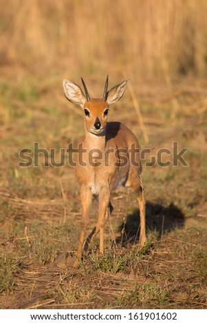 A portrait photo of an adult steenbok ram in front light - stock photo