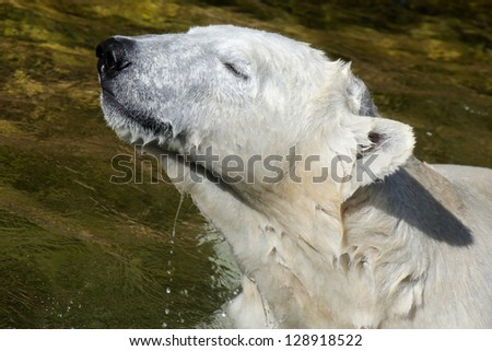 A Portrait Polar Bear in the Water