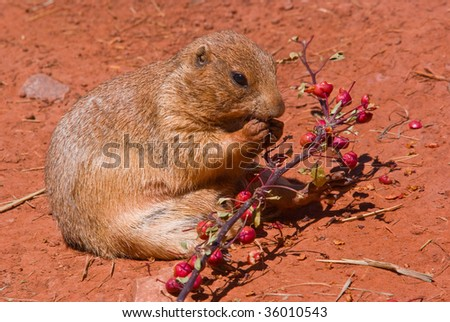A prairie dog eating berries off a branch