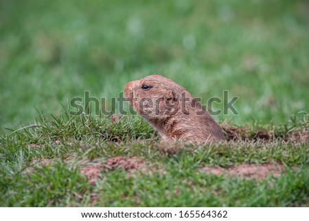 A Prairie Dog in a Hole Looking Curiously  - stock photo