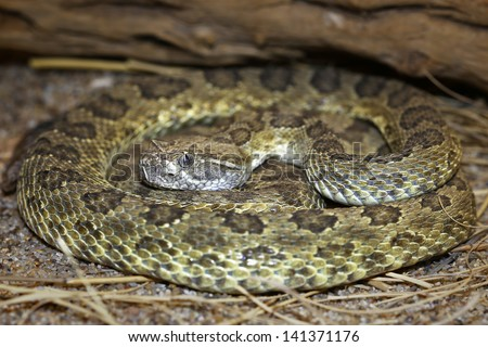 A Prairie Rattlesnake (Crotalus viridis nuntius) AKA Hopi Rattlesnake or Arizona Prairie Rattlesnake hides and hunts (ambush predator) in a coiled position in Arizona, USA. - stock photo