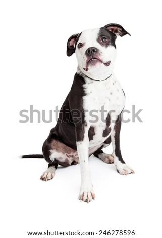 A pretty and obedient black and white Pit Bull breed dog sitting down and looking to the side - stock photo