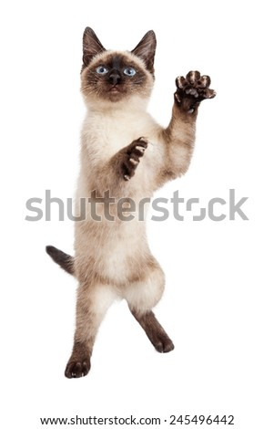 A pretty and playful Siamese breed kitten standing on her hind legs and raising paws to play  - stock photo