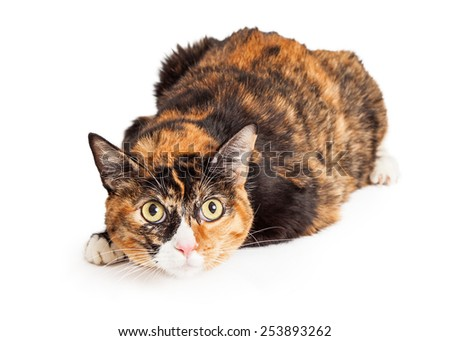 A pretty Calico breed cat laying down with a curious and attentive expression - stock photo
