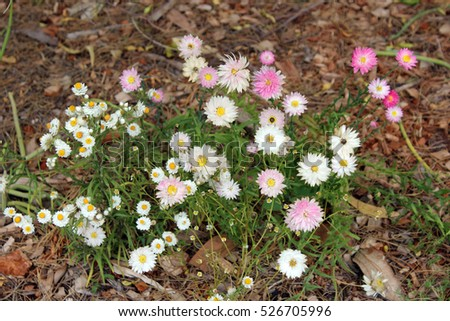 A pretty clump of decorative  Australian yellow and white  Everlastings Paper Daisies a species in  genera Xerochrysum  family Asteraceae  growing in King's Park, Perth, Western Australia in spring