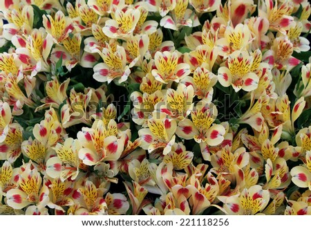 A Pretty Flower Background of Alstroemeria Cocktail. - stock photo