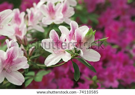 A pretty profusion of pale pink azaleas in full bloom against a background of magenta azaleas. Good mortice or background - stock photo